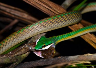 Leptophis ahaethulla